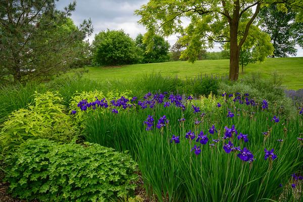 Irises, Ithaca