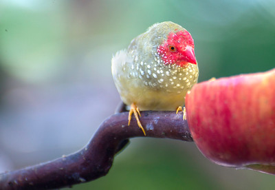 Red Star Finch