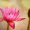 """Water Lily """"Rio Rita"""""""
