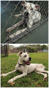 Contrast between her in the shelter at 30 lbs with a dislocated  hip and two months after post surgery.