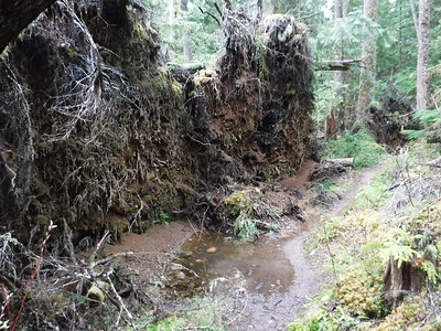 This was a HUGE treefall area - here three trees collapsed at the same time