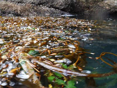 blurry, but you can see hundreds of by-the-wind sailors stranded on this bull kelp.