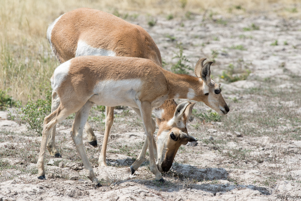 Pronghorn doe and fawn of the year.