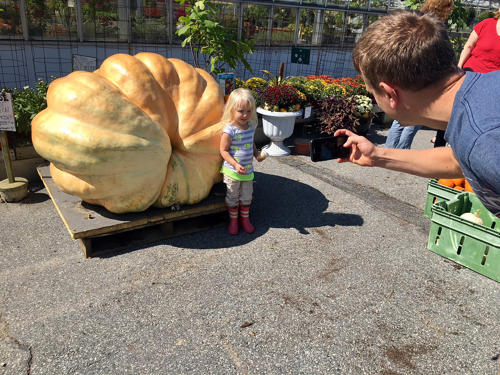 . Quinn Palomaki, 3, of Billerica posed by the giant pumpkin at Griggs Farm as Peter, her father, took a snapshot. Photo by Mary Leach