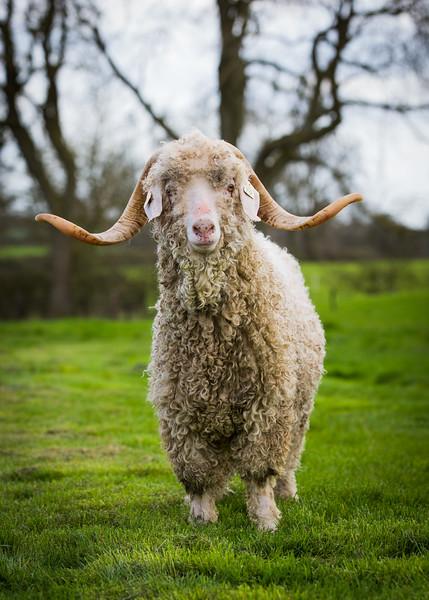 Goat -3254
