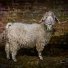 wmk Goat-3273