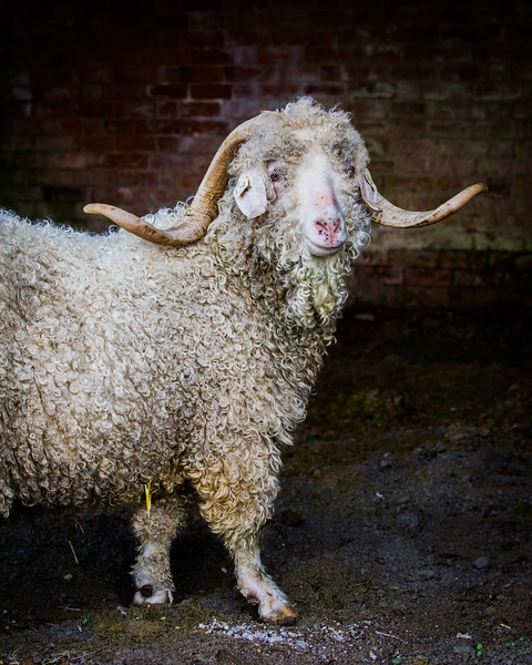 Goat -3286