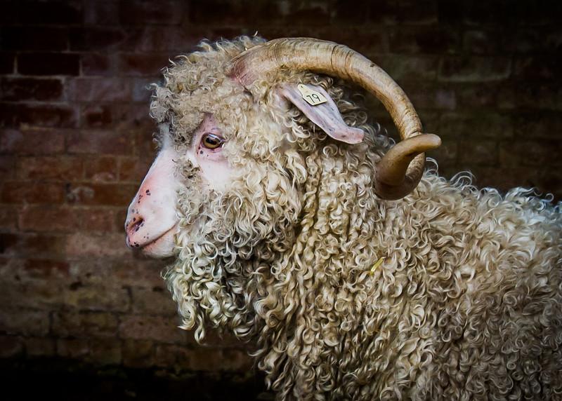 Goat -3287