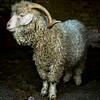 wmk Goat-3297