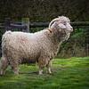 Goat -3257