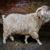 Goat ctn-3285