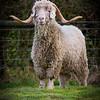 Goat -3261