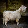 wmk Goat-3291