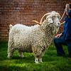 Goat -3268
