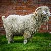 wmk Goat-3247