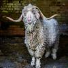 wmk Goat-3296
