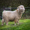 Goat -3256