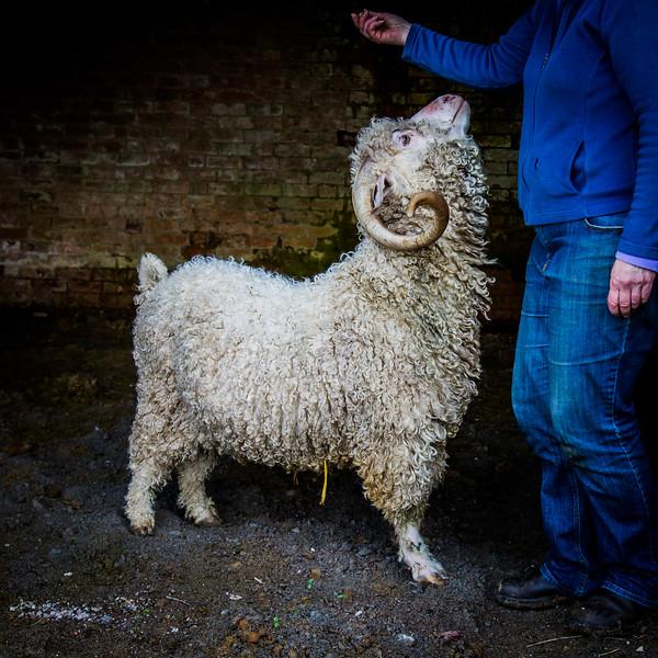 Goat -3290