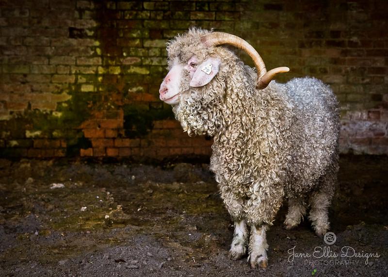 wmk Goat-3298