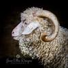 wmk Goat-3281