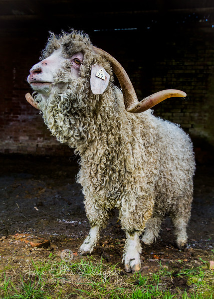 wmk Goat-3294