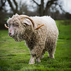 Goat -3255