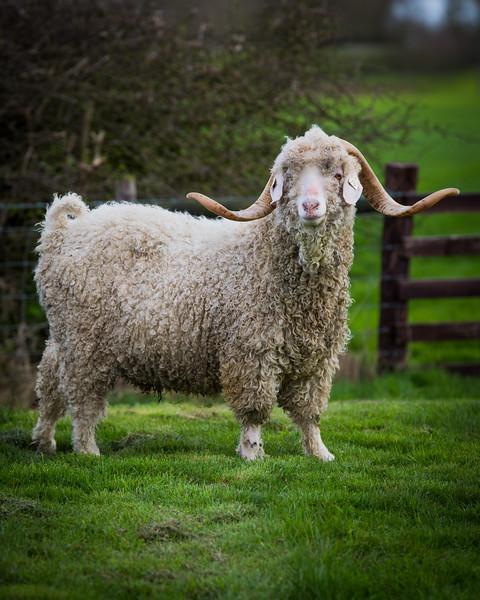 Goat -3259