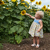 Camillus, Ny 08/12/2016. Baby finds sunflower her size at the Camillus Sunflower maze.