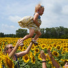 Camillus, Ny 08/12/2016. A child is passed between two in a field of sunflowers. At the  Camillus Sunflower maze.