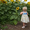Camillus, Ny 08/12/2016. Baby enjoys the Camillus Sunflower maze.  Finds a flower her size.