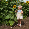 Camillus, Ny 08/12/2016. Baby  finds a sunflower her size at the Camillus Sunflower maze.