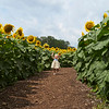 Camillus, Ny 08/12/2016. A child trys to fins their way through a sunflower maze at Camillus Sunflower maze.