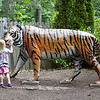6-23-17 Syracuse, NY: Holding her own tiger, a toddler interacts with a statue of a tiger, on a trip to the Burnet Park Zoo in Syacuse Ny.
