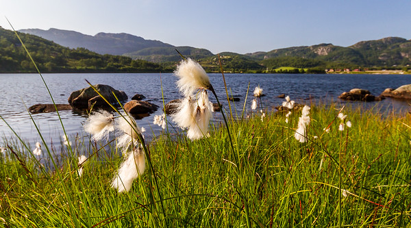 Myrull/ Cotton grass, Stavtjørna