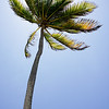 A lone palm on the beaches of Ambergris Caye.  May '11