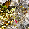 Tiny petals littering the sunny side of a rock mass.
