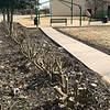 KEVIN HARVISON | Staff photo<br /> A McAlester city cut back the bushes to clear the sidewalk and promote new growth on tow rows of hedges on the west side of Chadick Park.