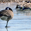 Kevin Harvison | Staff photo<br /> A Canada goose stands on ice with one leg at the Oak Hill Cemetary.