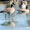 Kevin Harvison | Staff photo<br /> A Canada goose wades in ice water at the Oak Hill Cemetary.