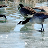 Kevin Harvison | Staff photo<br /> A Canada goose gets a drink of the ice water from the Oak Hill Cemetary.