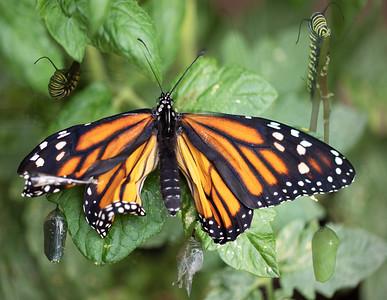 DA111, Monarch-2