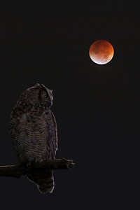 DA054,1R9A5321Owl_with_Moon_Eclipse
