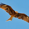 Black kite in flight, Miyajima Island, Hiroshima