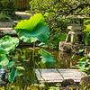Lotus leaves and pond, Hasedera Temple, Kamakura, Japan