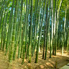 Panorama of bamboo forest at Hokokuji Temple
