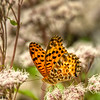 Marbled Fritillary Butterfly, Kyoto