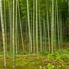 The Bamboo Forest, Arashiyama, Kyoto, Japan