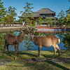 Sika Deer in the foreground of Todaiji Temple, Nara, Japan
