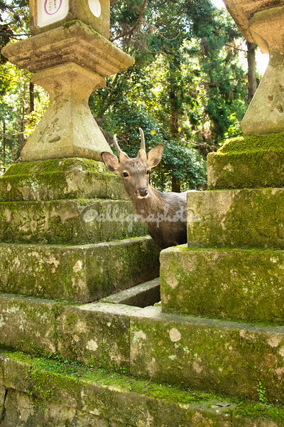 A Sika deer peers through a pair of lanterns, Nara