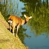 Sika deer at edge of pond, Nara Park